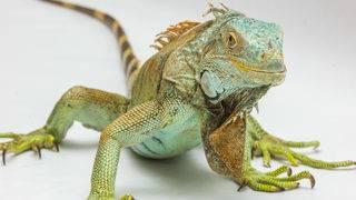 Man accused of throwing iguana at Ohio restaurant manager