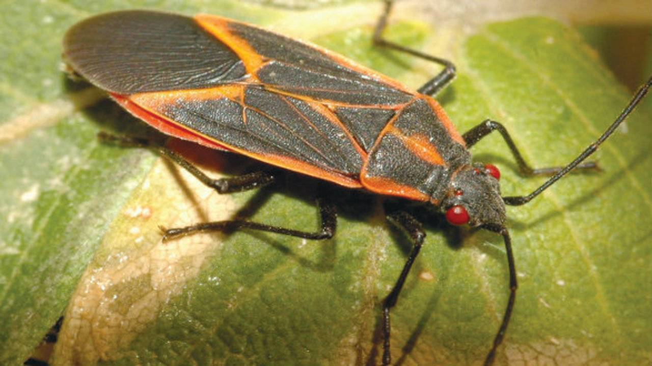 Boxelder Bugs Invading Michigan Homes How To Get Rid Of Them