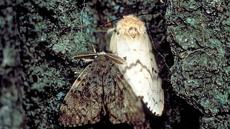 GypsyMoth1_517378_7_1530898717755.jpg