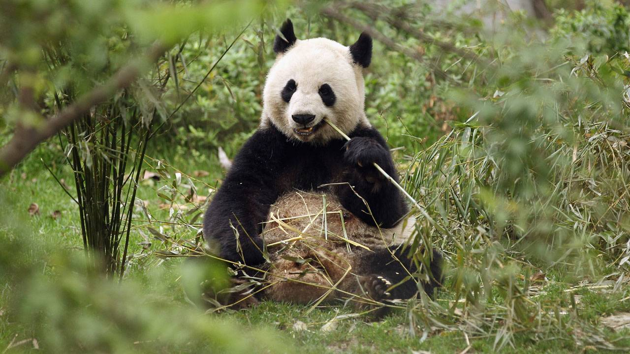 panda at Chengdu Research Base of Giant Panda Breeding77397519-75042528