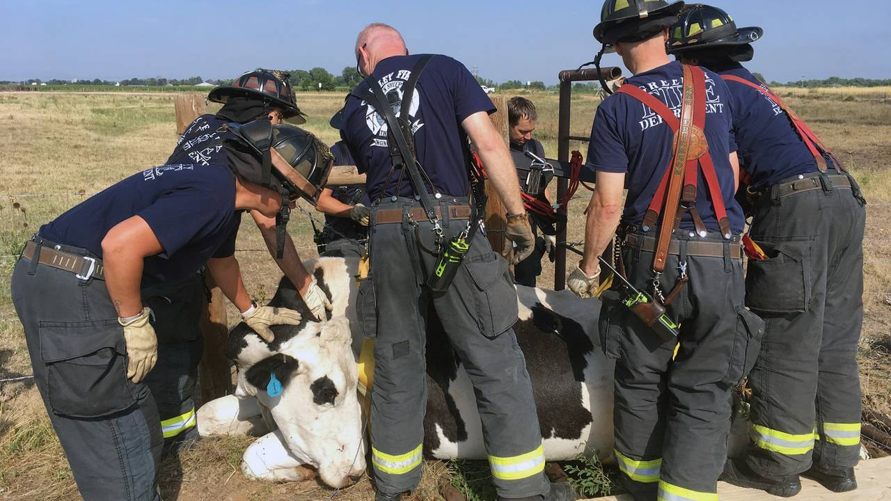 cow stuck three_1532354415584.jpg.jpg80696655