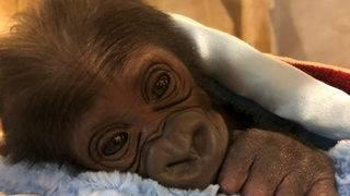 Jacksonville Zoo goes bananas over birth of baby gorilla