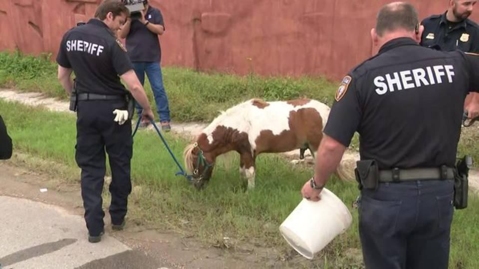 Rescued pony walking away 10-17-18