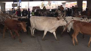 VIDEO: More than 100 longhorns fill downtown San Antonio streets