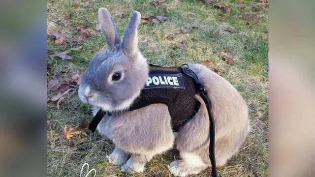 schertz police department adds crime fighting bunny to its team