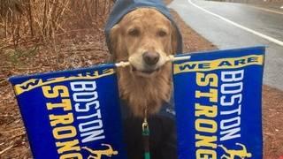 Adorable therapeutic dog cheers on Boston Marathon runners