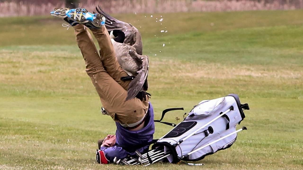 Golfer attacked by Goose 3.jpg27412834