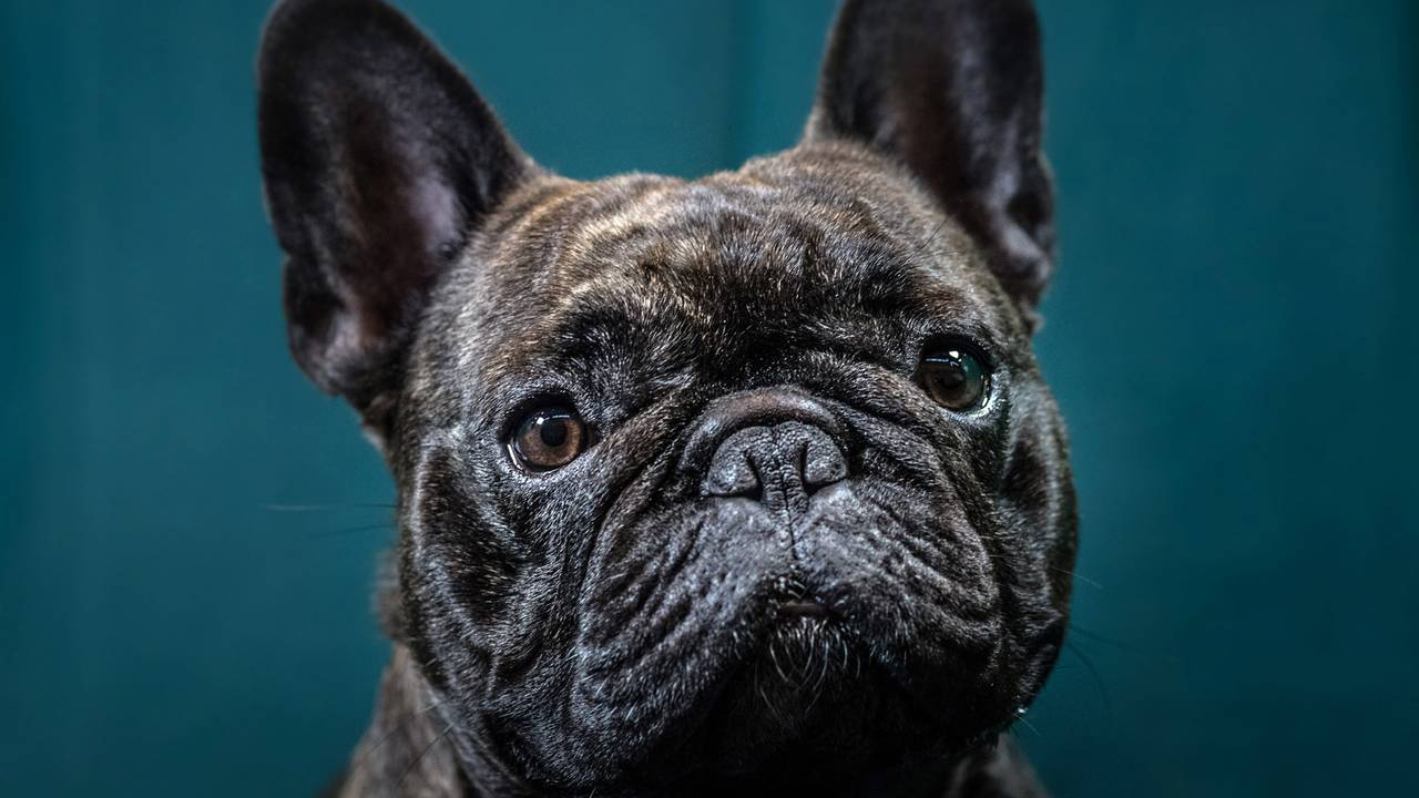 French bulldog, dog, puppy, puppies, pets, Crufts Dog Show99719601-75042528
