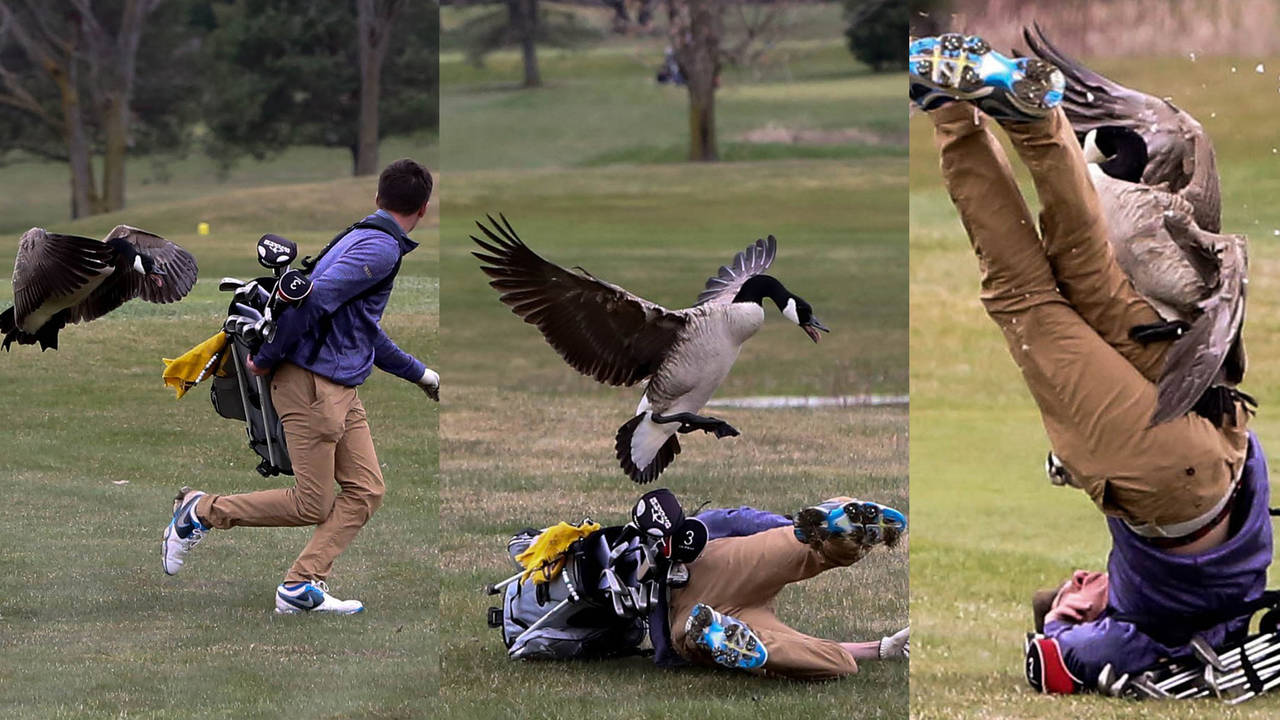 Golfer attacked by Goose-75042528.jpg17294664