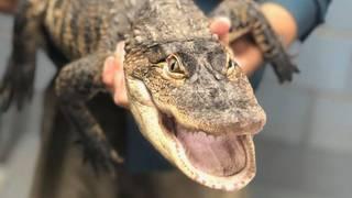 Crafty alligator eludes Chicago authorities  Enter Florida man