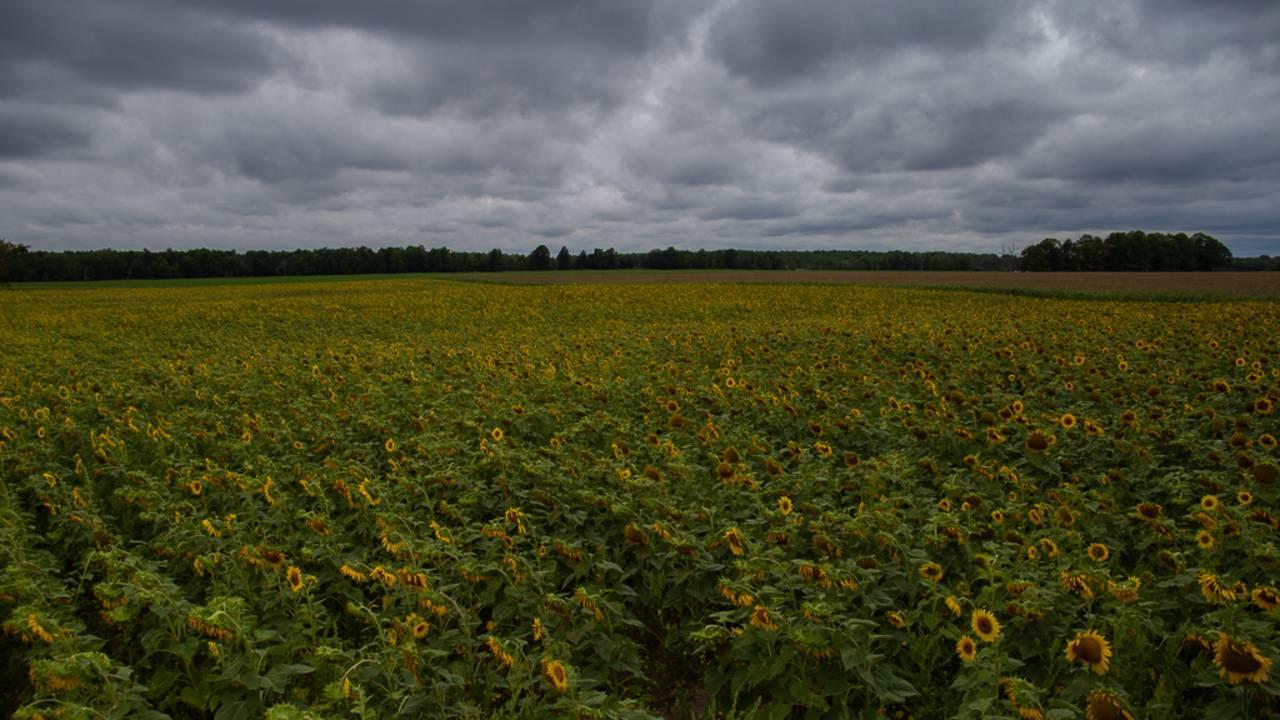 sunflower field 4_1566925511778.jpg.jpg