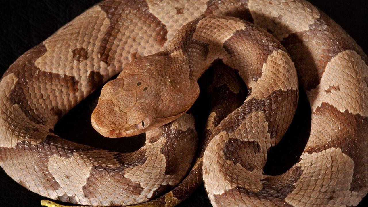 Copperhead-snake_1461100219156.jpg