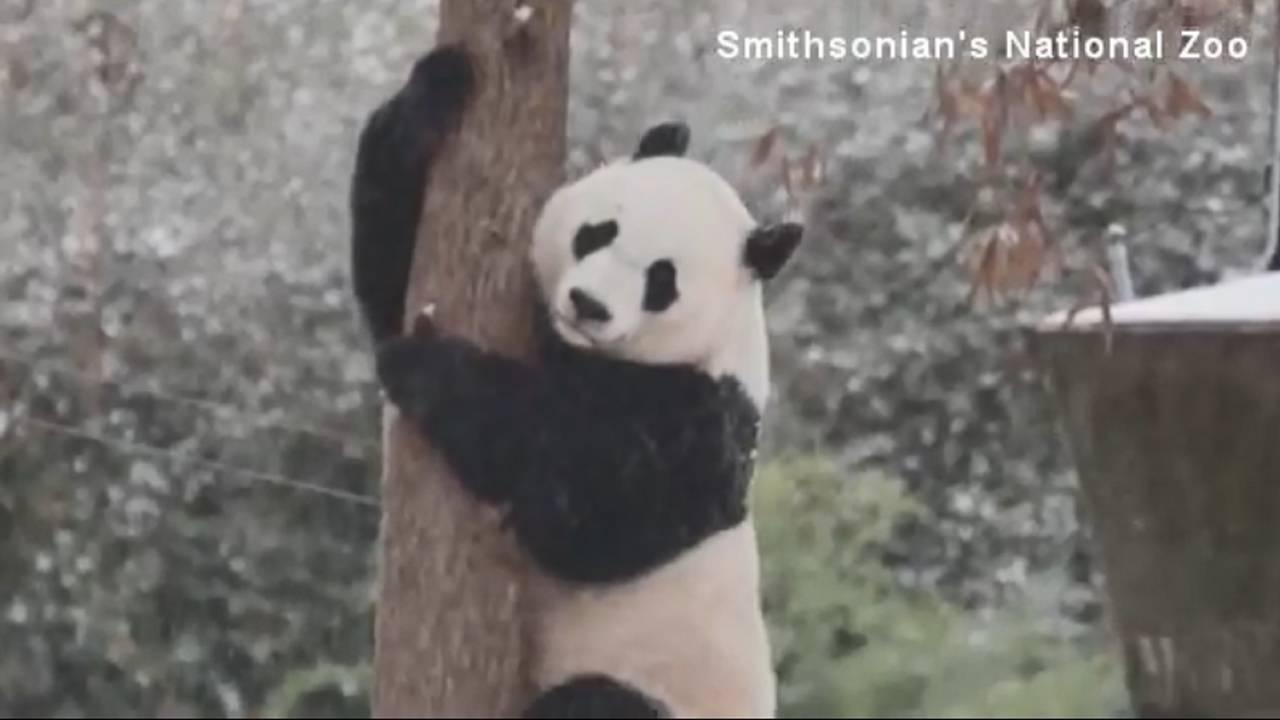 DC-Panda_Bei_Bei71755967-75042528