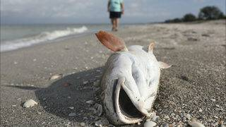 Red tide bloom reaches Tampa Bay area after lingering in South Florida