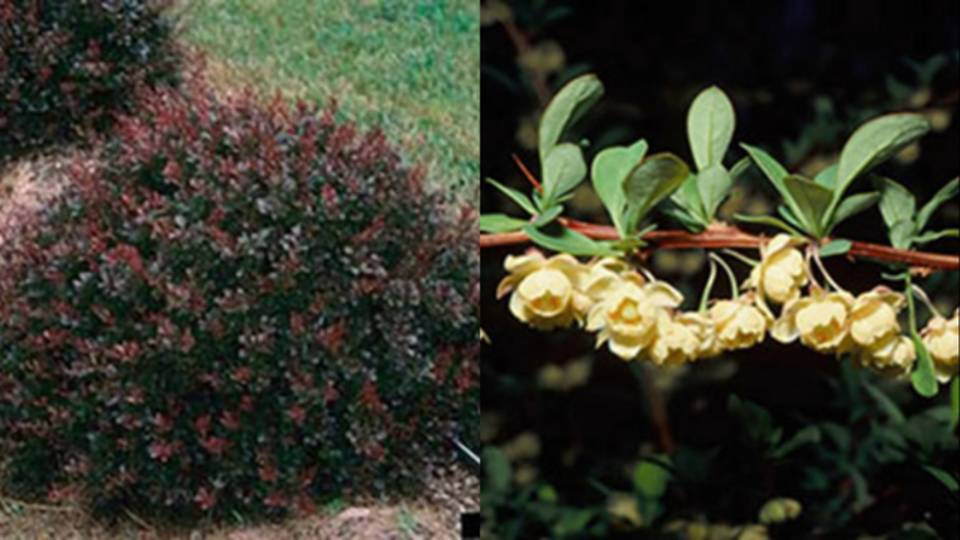 Japanese Barberry_1532351280705.jpg.jpg