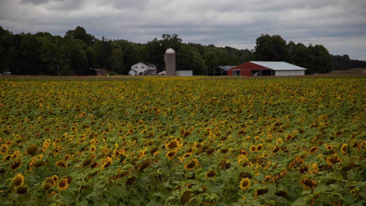 sunflower field 3_1566925494015.jpg.jpg