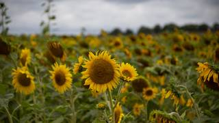 Michigan travel: Sunflower field with thousands of flowers