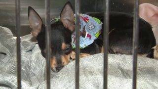 17 Chiweenies up for adoption after Hialeah man surrenders 21 dogs