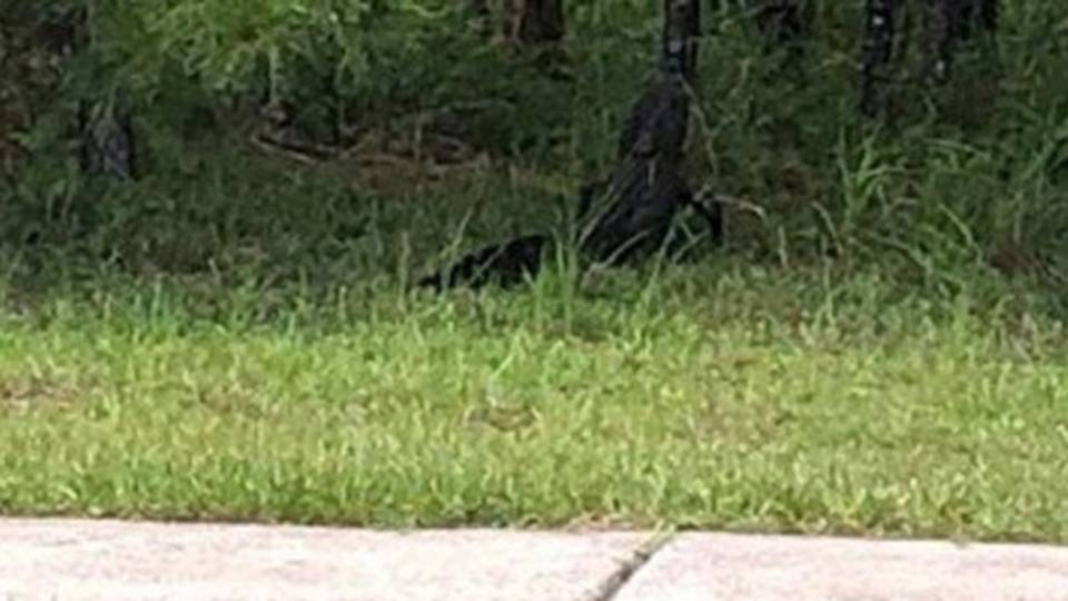 Alligator spotted in north St. Johns County