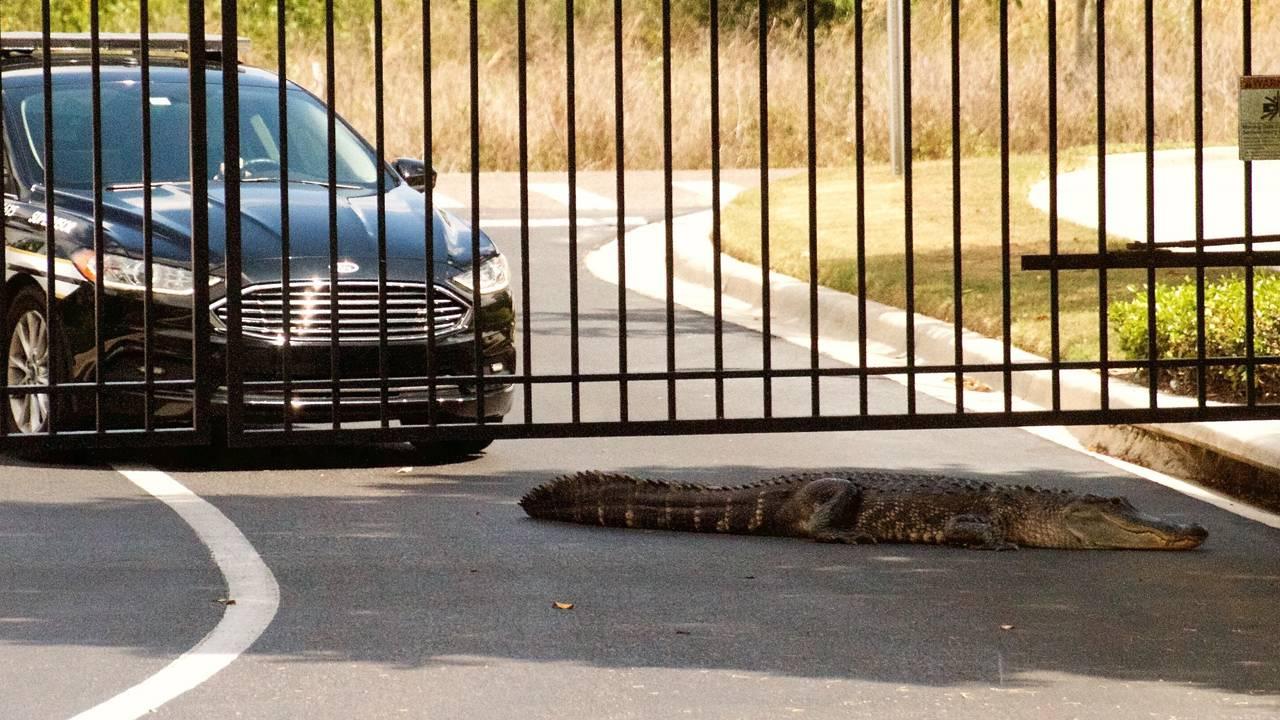 gator at gate3_1553795419969.jpg.jpg