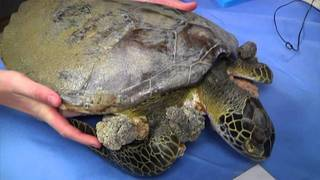More than 1K cold-stunned sea turtles found in Florida bay