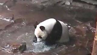 Splashing Panda in China Gives Dancing Gorilla in Dallas Some Stiff Competition