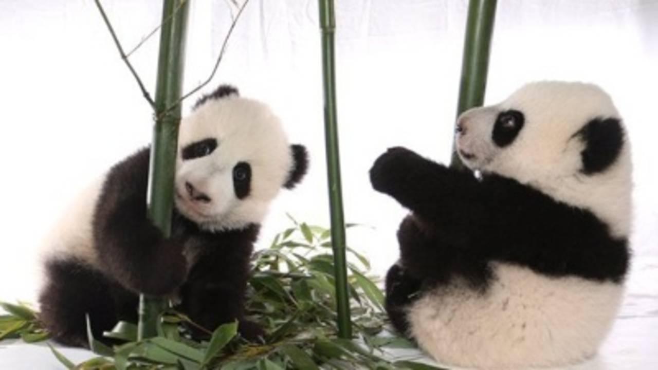 Canada-zoo-pandas-jpg_20160307230258-75042528