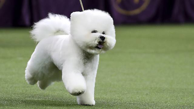 flynn the bichon frise named westminster best in show