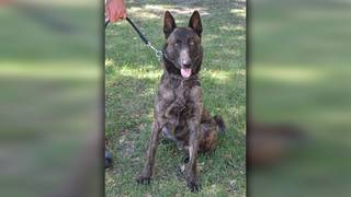 $500 reward offered for safe return of police K9 last seen in Universal City