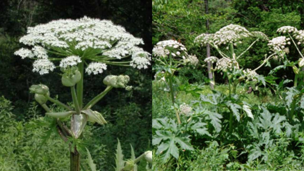 Giant Hogweed Michigan Map.Worse Than Poison Ivy How To Identify Report Dangerous