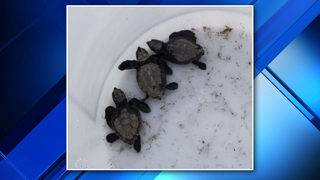 Broward Sheriff Fire Rescue firefighters rescue baby sea turtles