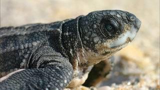 Florida wildlife officials release guidelines on handling turtles