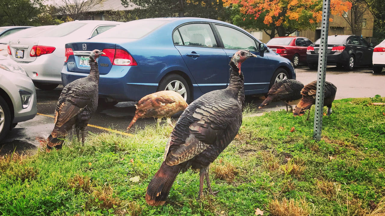 Turkeys Northwood V