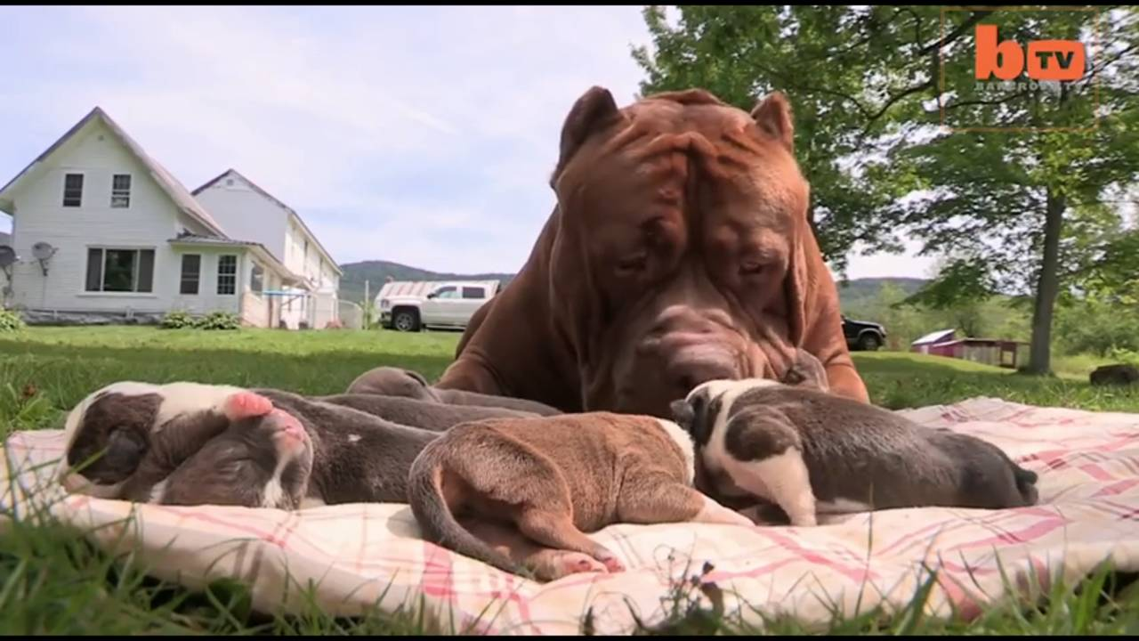 Hulk The Giant Pit Bull Fathers Adorable Litter Of Puppies