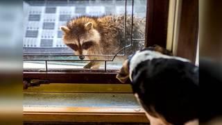 Third rabid raccoon found in Kendall, prompting alert