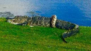 Alligator battles python on Florida golf course