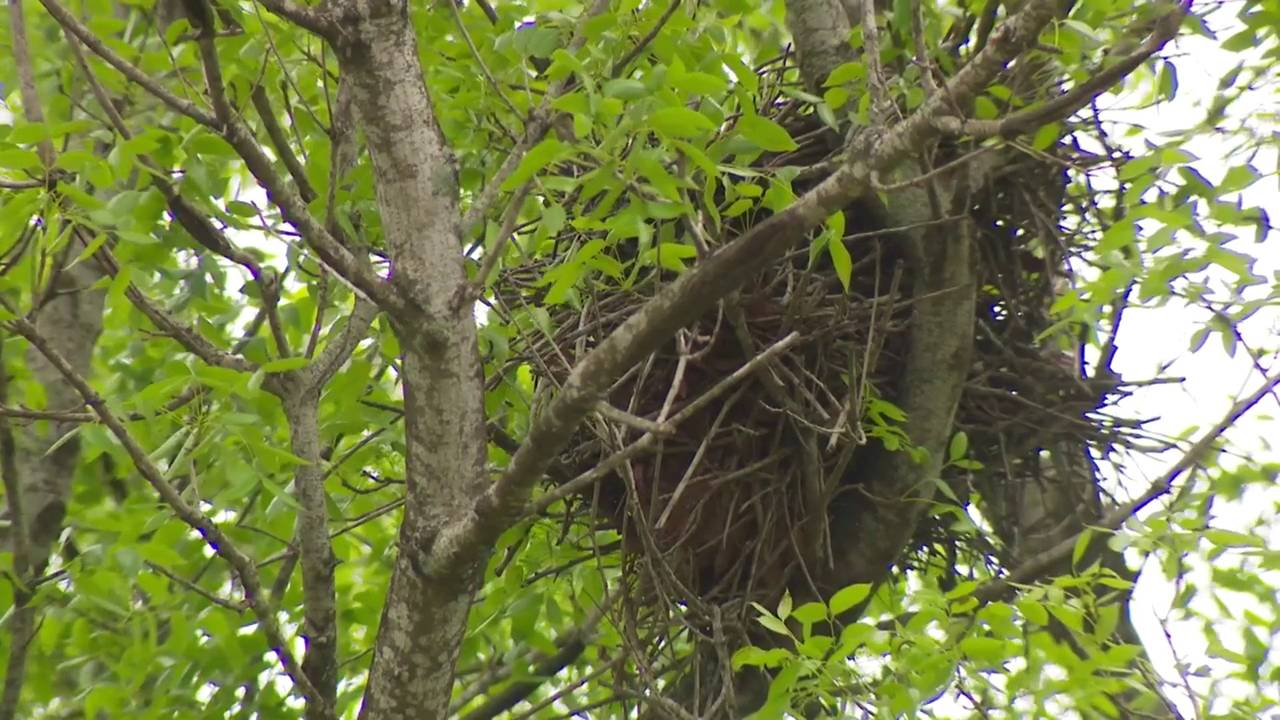 red tail hawk nest