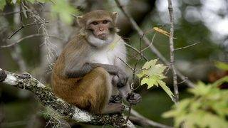 Population of herpes-infested monkeys at Florida park could double