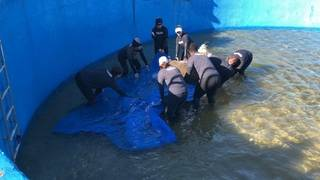 Manatee orphan released into Florida waters after undergoing rehabilitation