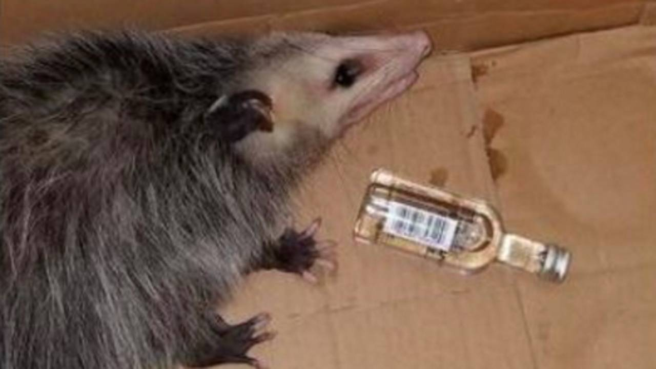 opossum_1514675695060.jpg