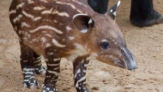 Baby tapir born at the Houston Zoo