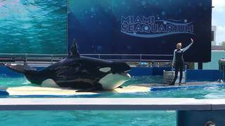 Native American tribe demands Miami Seaquarium return orca Lolita home