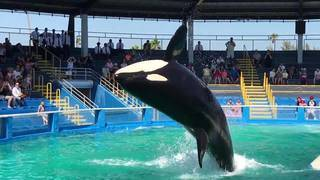 Tribe supports orca's move from Miami tank to sea pen off island