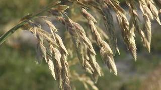Volunteers needed for sea oat planting at Fort Matanzas