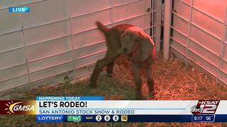 KSAT 12's Ashly Custer shows off baby goats at San Antonio Stock Show and Rodeo