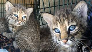 Woman who lied about how she found bobcat kittens issued criminal citation