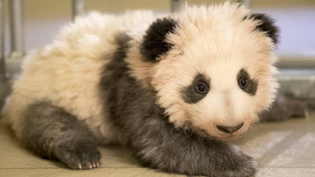 1f33ef-bebe-panda-mini-yuan-zi-256_1515850677337.jpeg