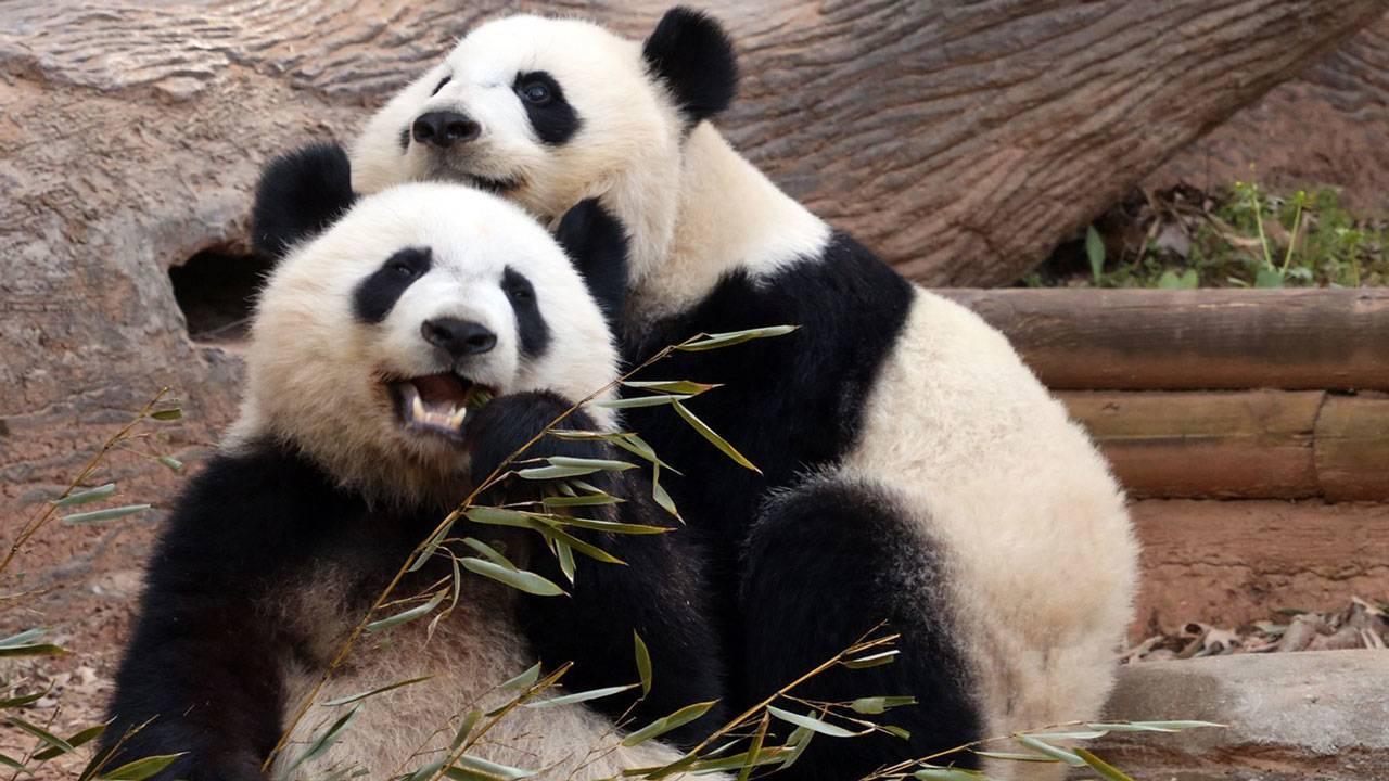 American pandas in China03089396-75042528