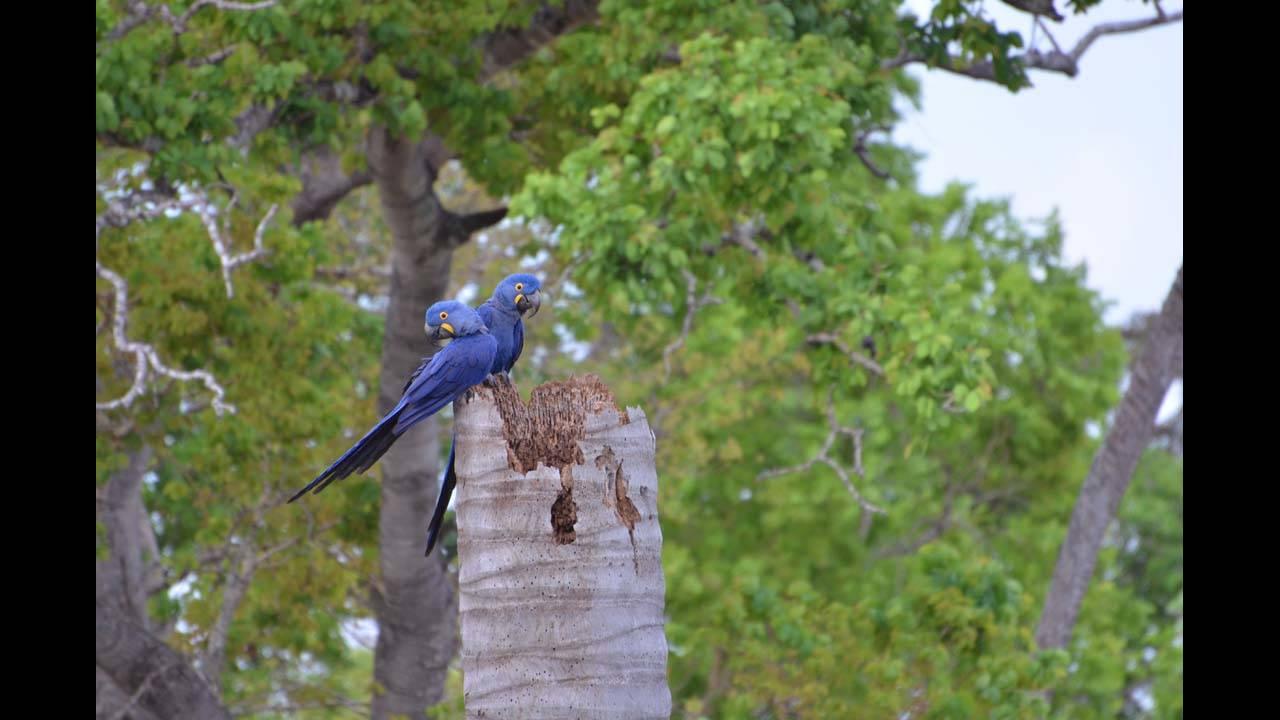 Hyacinth macaw1_1570152566267.jpg.jpg