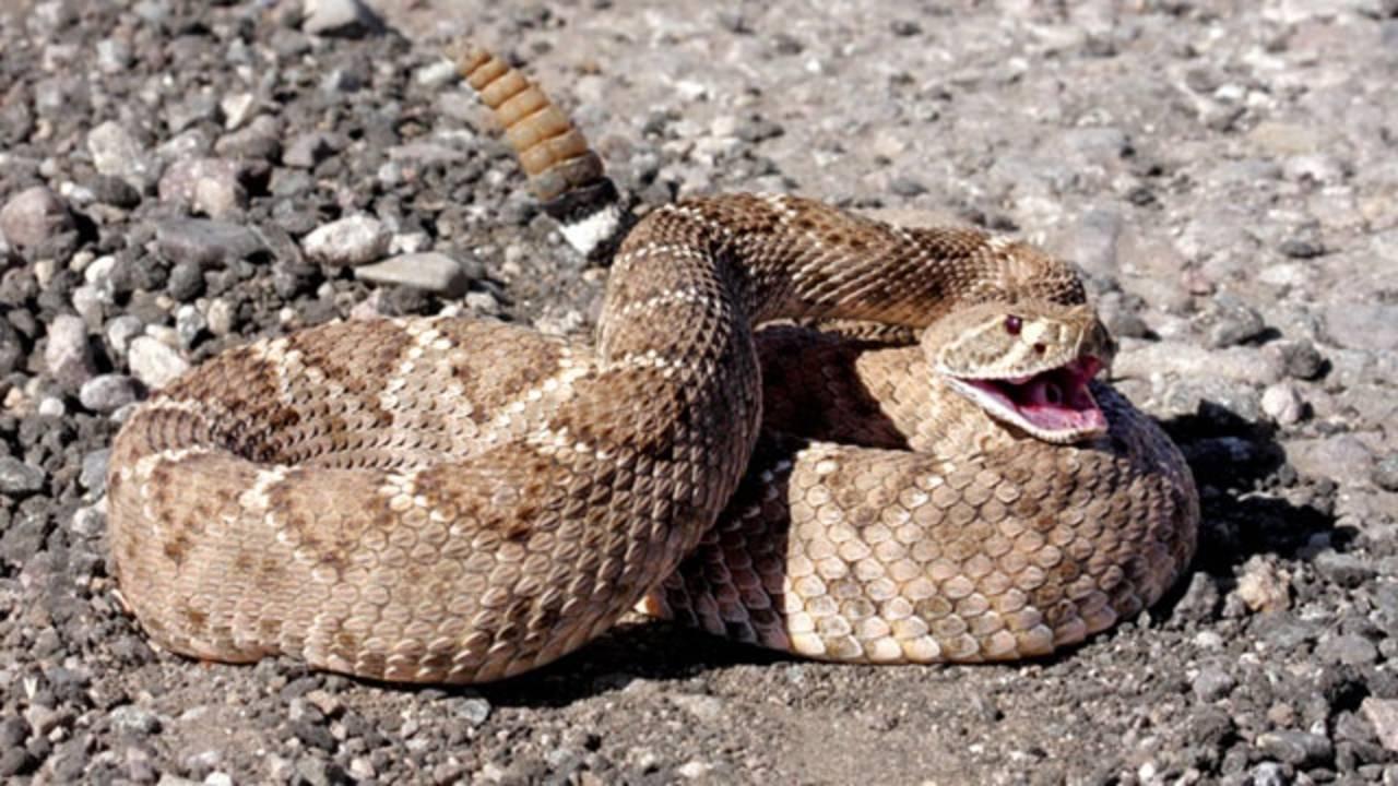 animal attacks - snake_3370339036907468-75042528